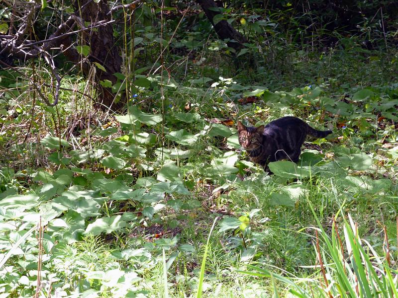草むらを駆けるアメショー柄の猫1