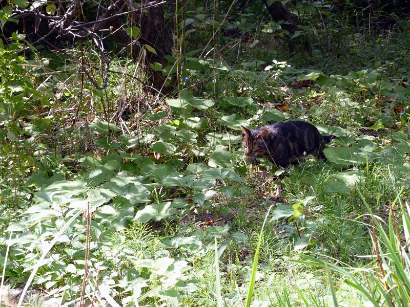 草むらを駆けるアメショー柄の猫2