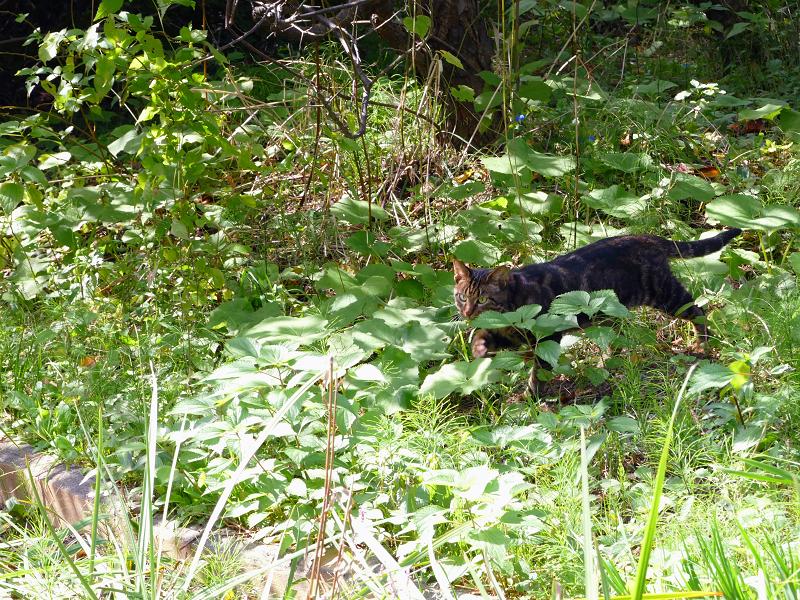 草むらを駆けるアメショー柄の猫3