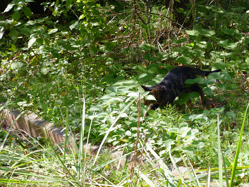 草むらを駆けるアメショー柄の猫4