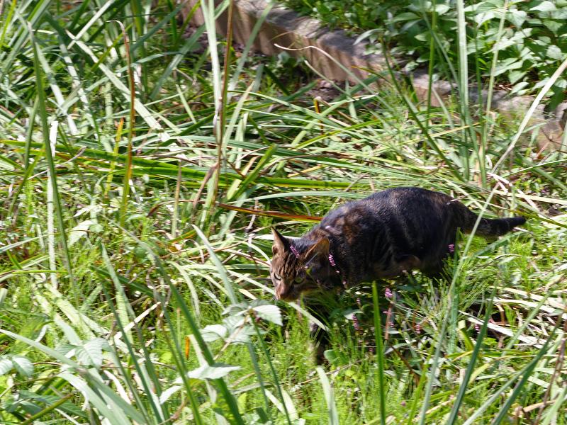 草むらを駆けるアメショー柄の猫5