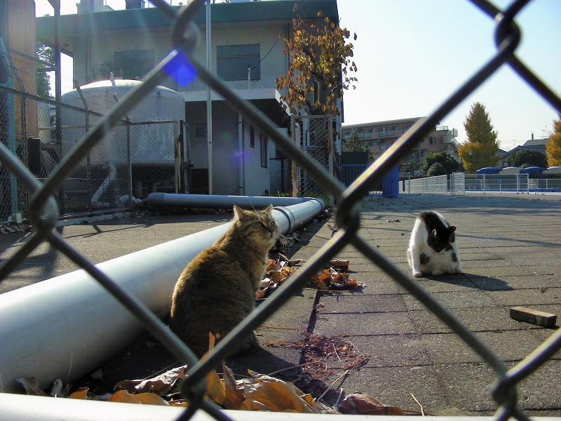 パイプキジ白猫サビ柄猫1