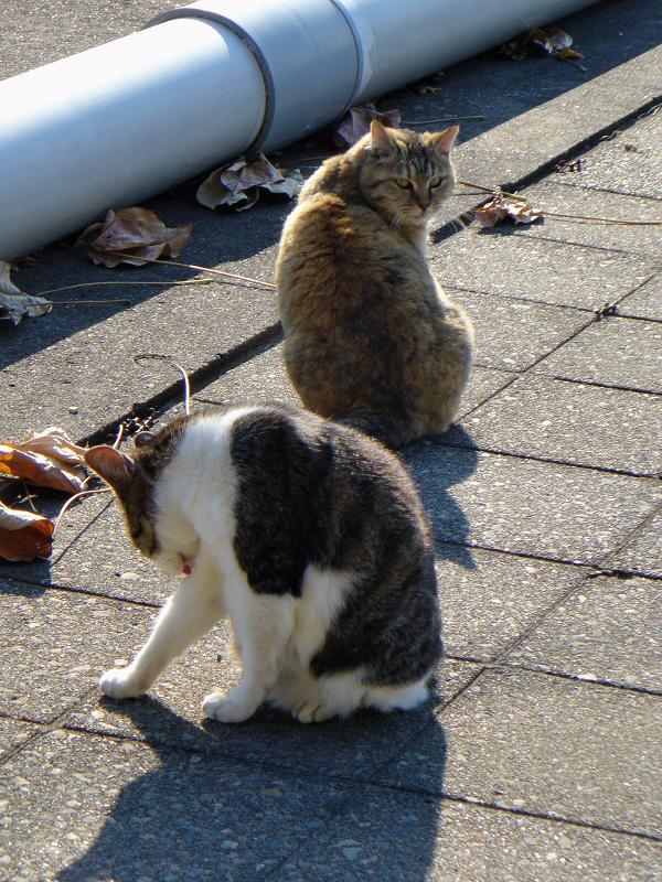 パイプキジ白猫サビ柄猫2