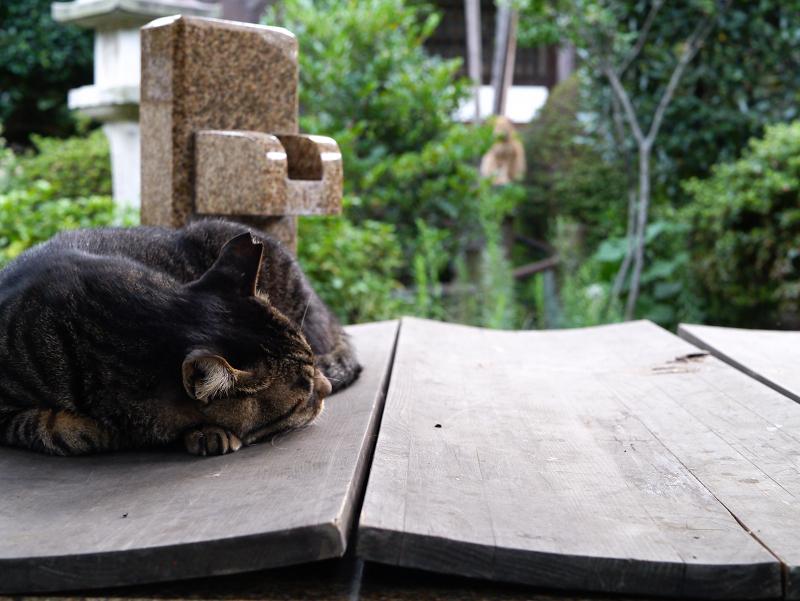お寺の井戸のキジトラ猫