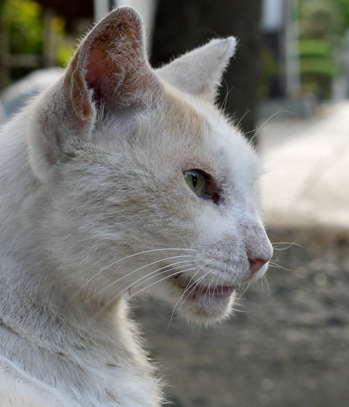 アップ白茶猫