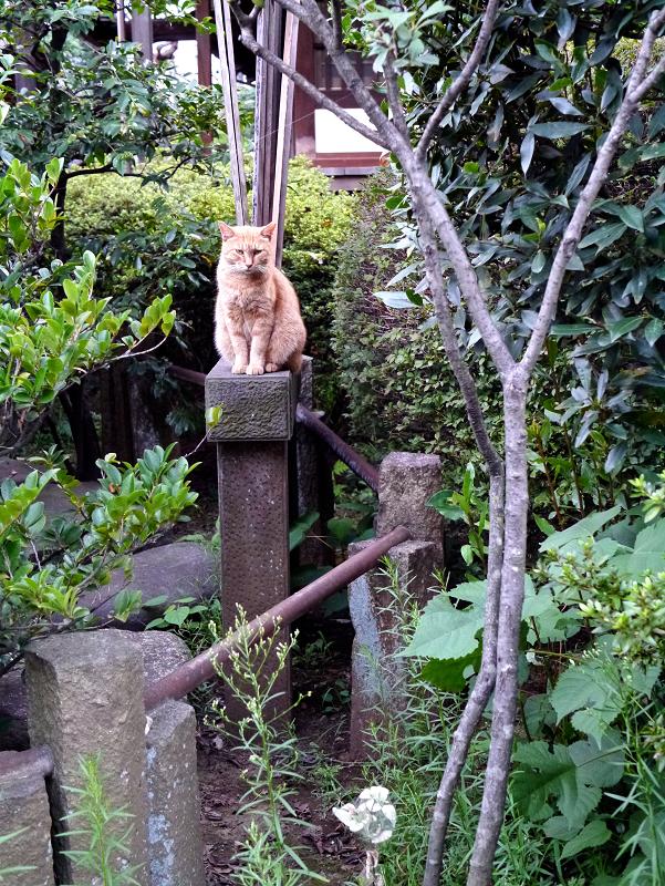 お寺の柵支柱の茶トラ猫