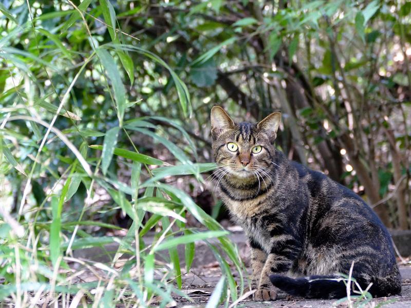 草むらから見つめアメショー柄の猫1