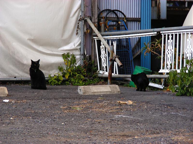 下町空き地の黒猫たち