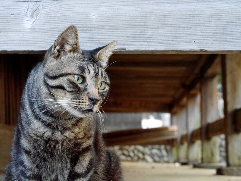 縁の下キジトラ猫1
