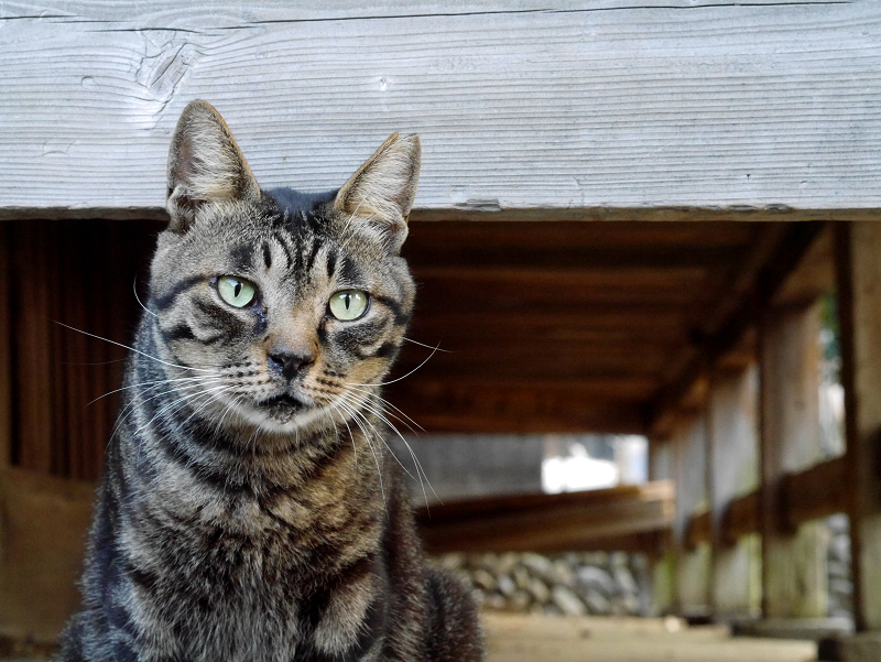 縁の下キジトラ猫2