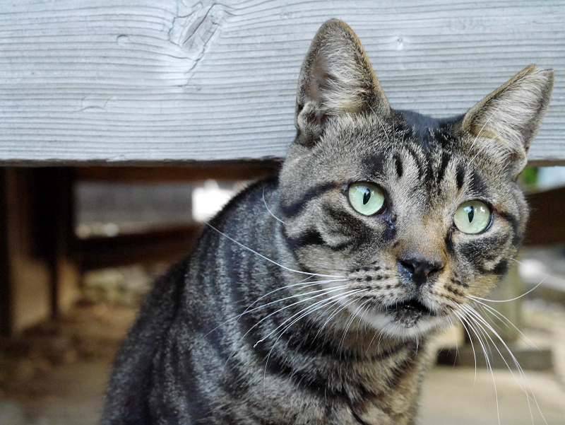 縁の下キジトラ猫3