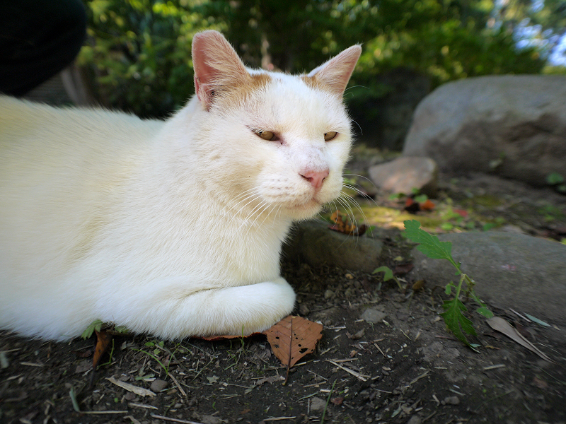 庭で寛いでた白茶猫1