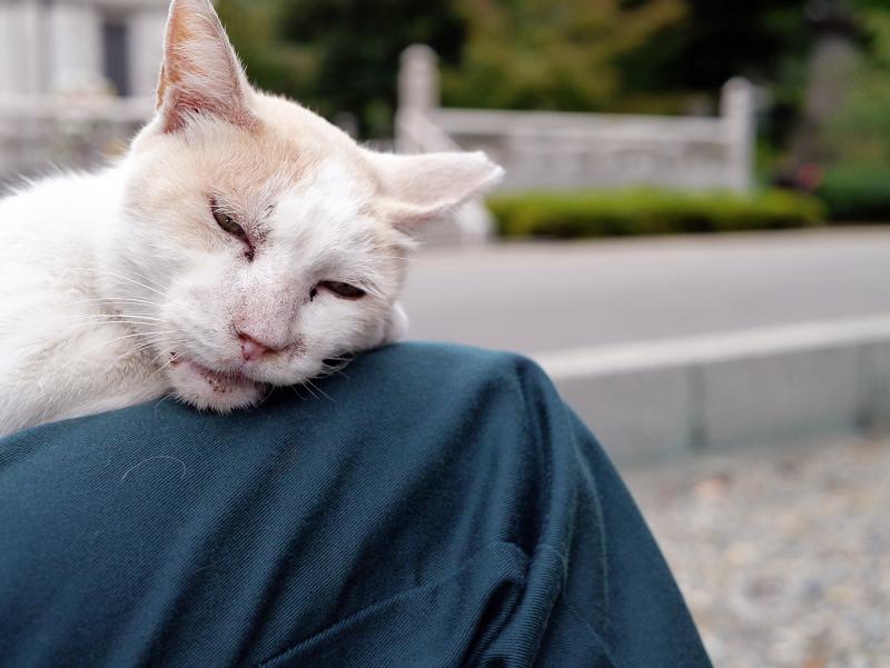膝に乗ってる白茶猫3