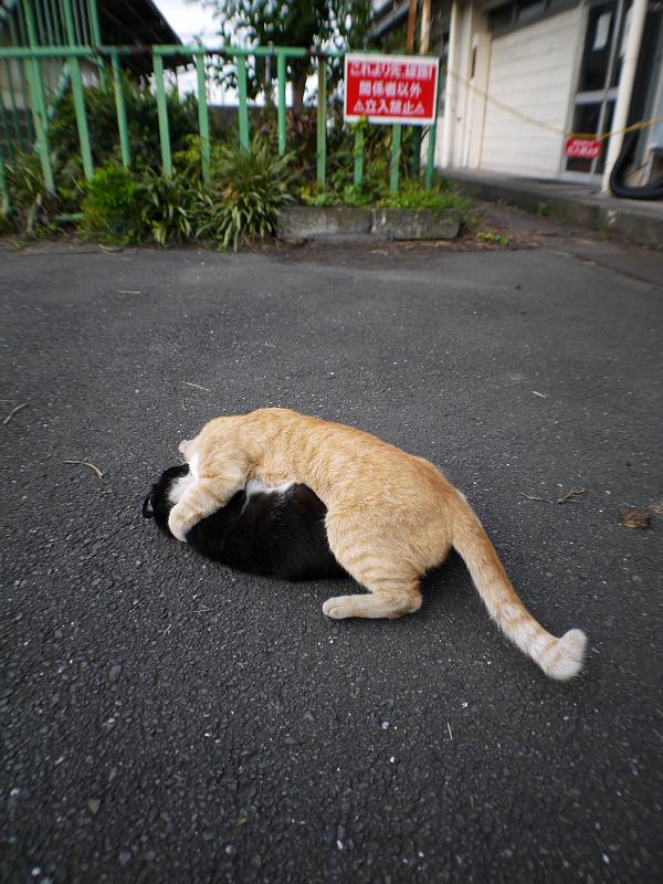 取っ組み合いの猫3