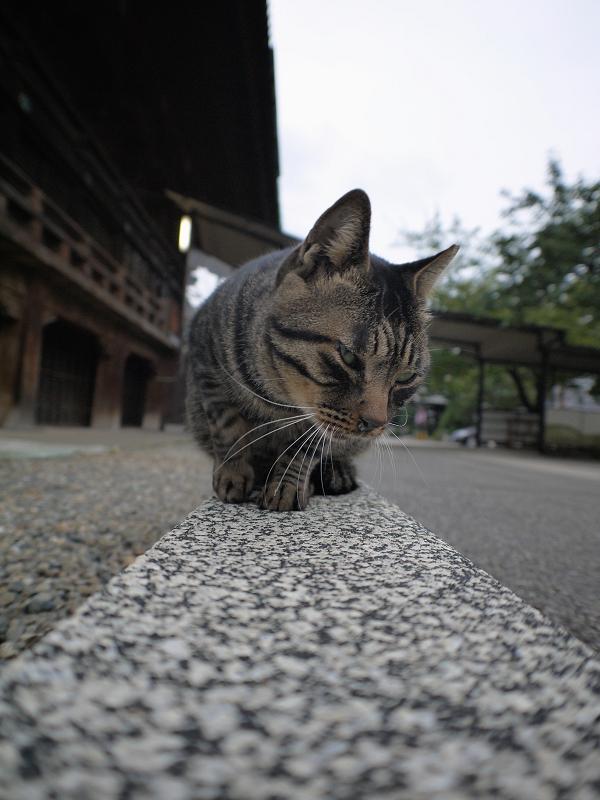 本堂縁石のキジトラ猫1