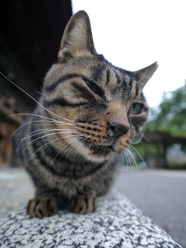 本堂縁石のキジトラ猫2