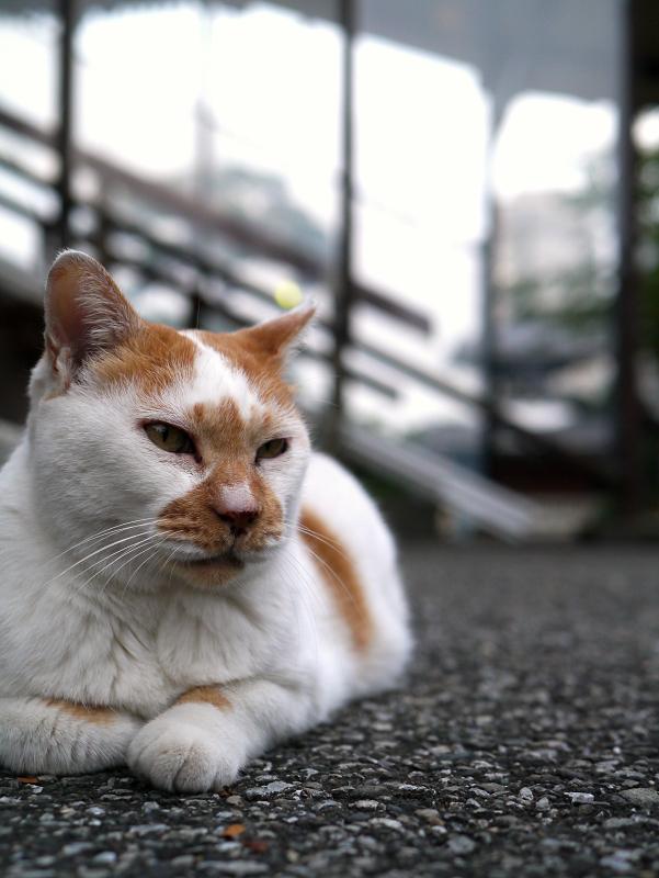 境内で佇む茶白猫1