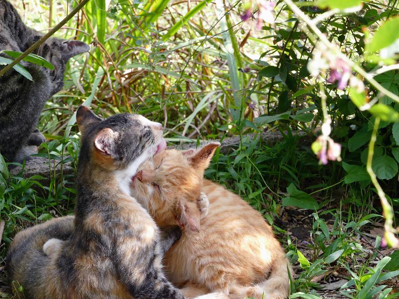 抱き合い舐めあってる子猫たち1
