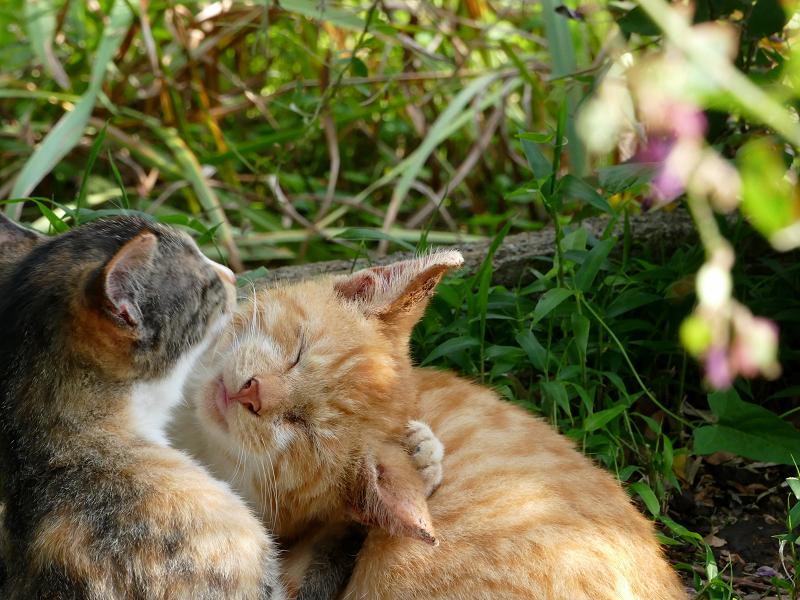 抱き合い舐めあってる子猫たち2