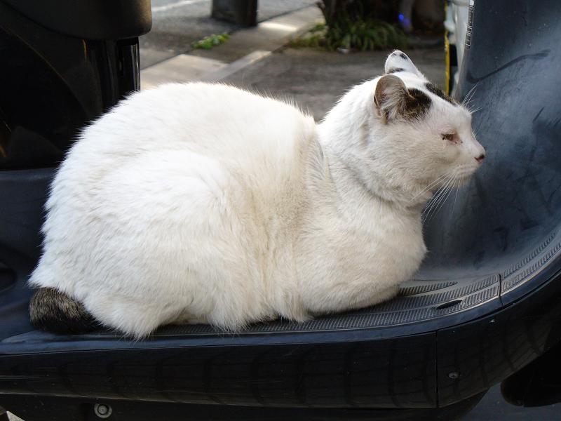 スクーターと白キジ猫1