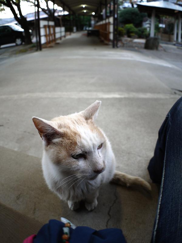 膝に乗りたい白茶猫1