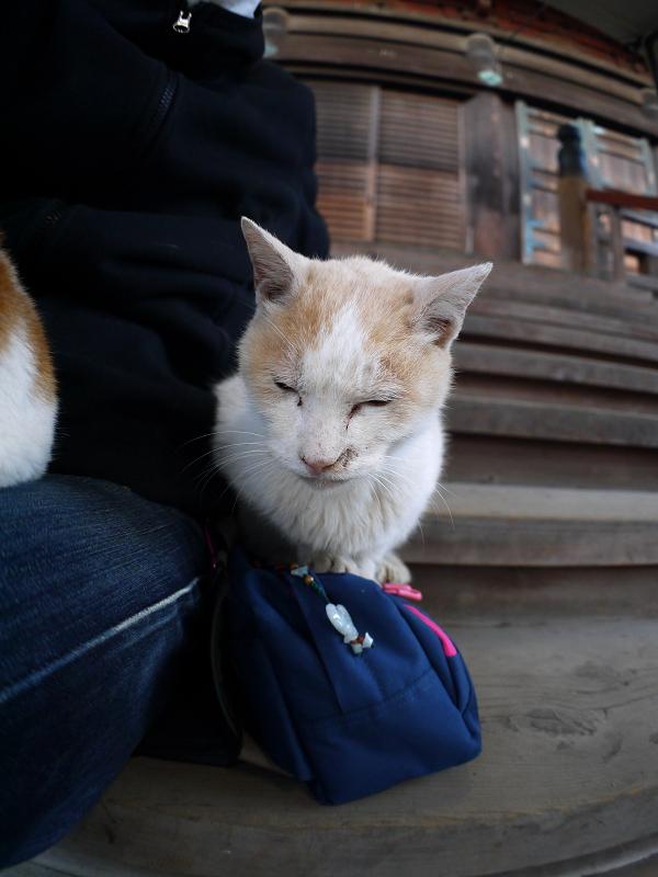 膝に乗りたい白茶猫2