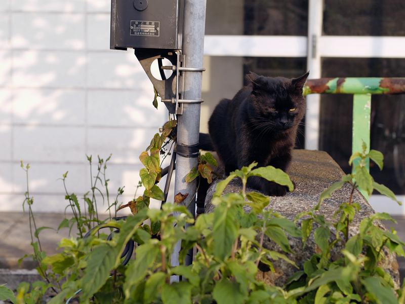 ボス猫黒猫1