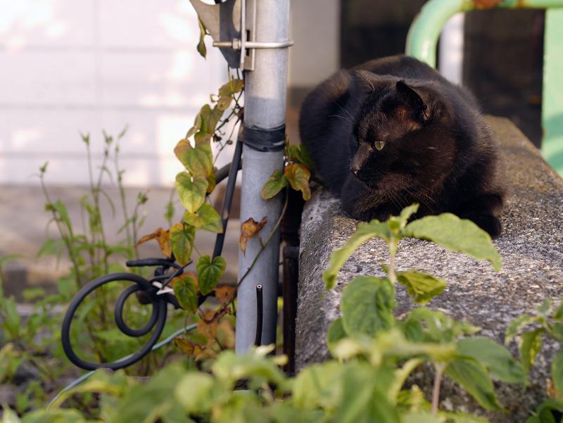 ボス猫黒猫2