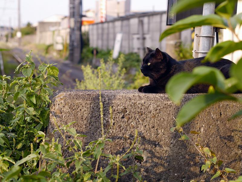 ボス猫黒猫3