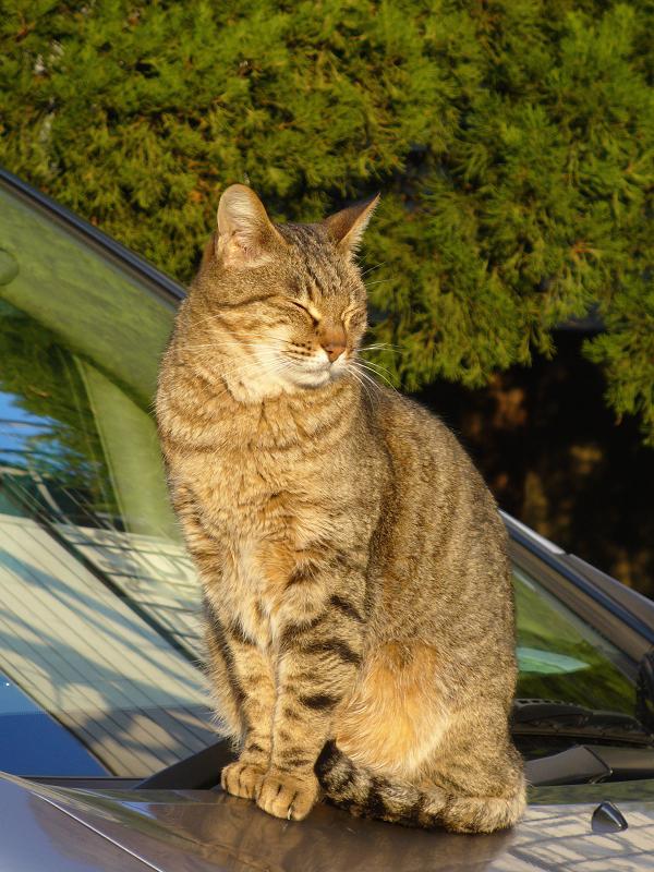 フロントガラスとキジトラ猫2