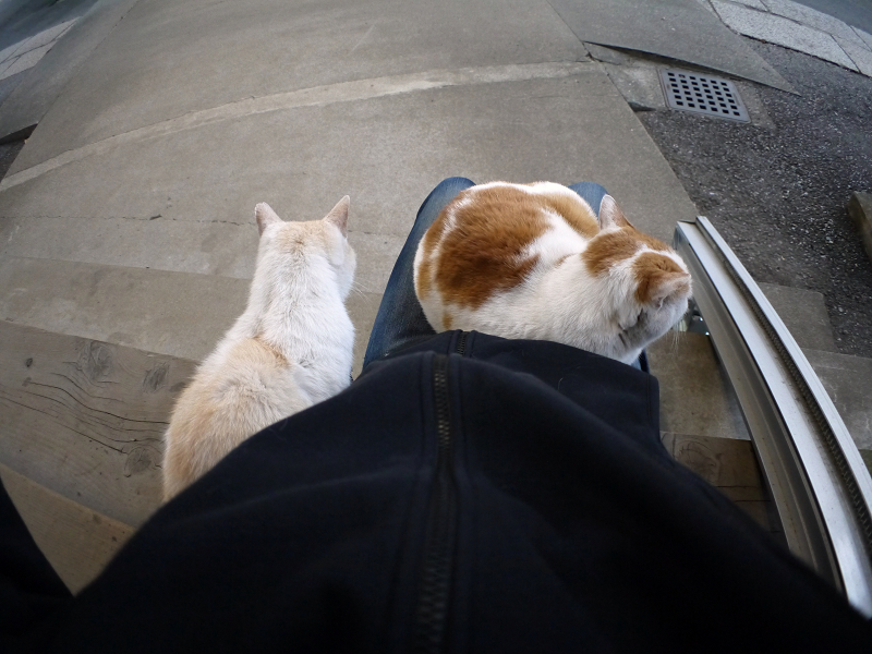 膝に乗ってるお嬢様猫1