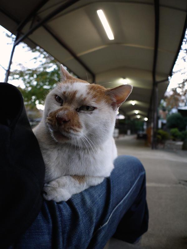 膝に乗ってるお嬢様猫2
