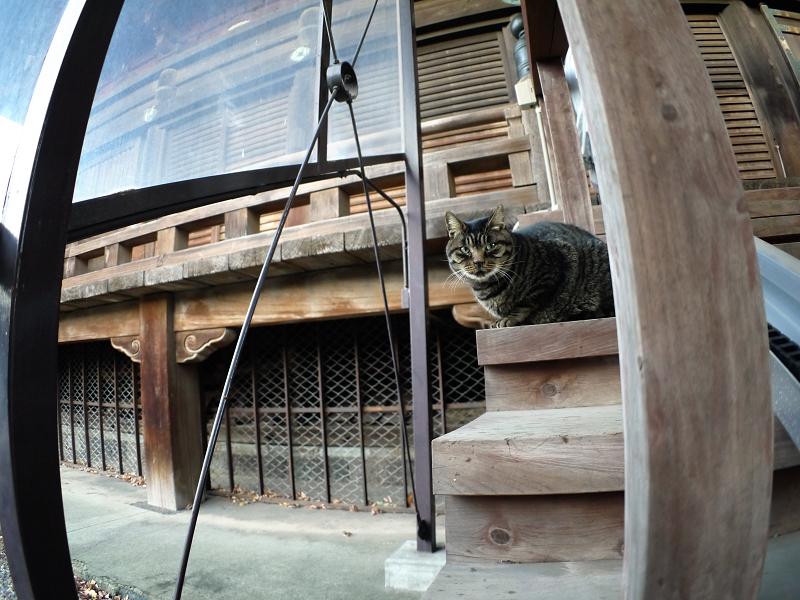 階段の端に座ってるキジトラ猫1