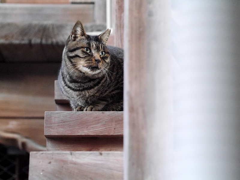階段の端に座ってるキジトラ猫2