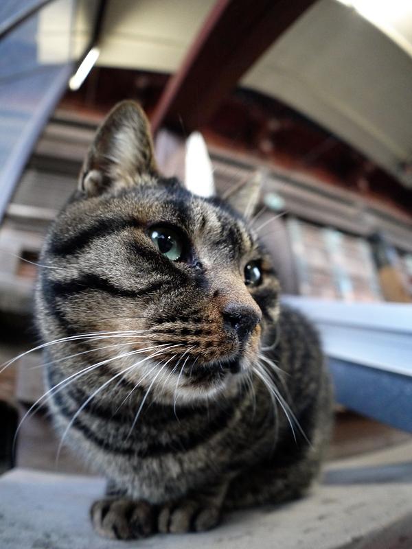 階段の端に座ってるキジトラ猫3