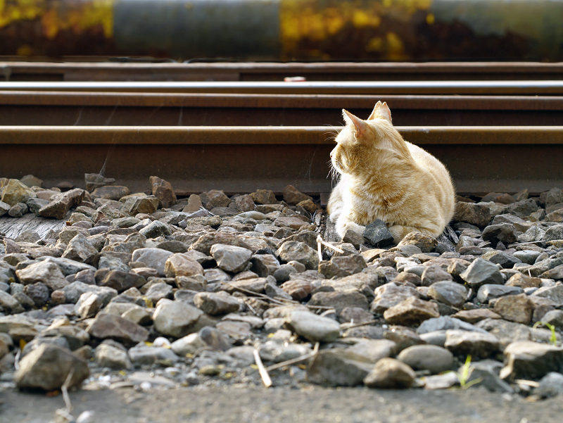 線路と茶トラ猫1