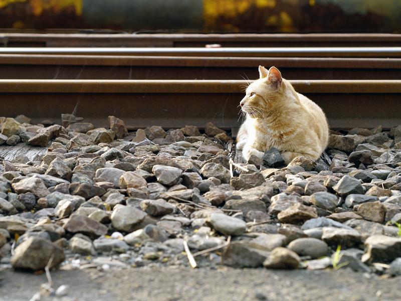 線路と茶トラ猫2