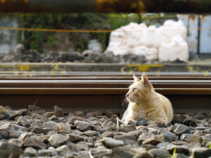 線路と茶トラ猫3