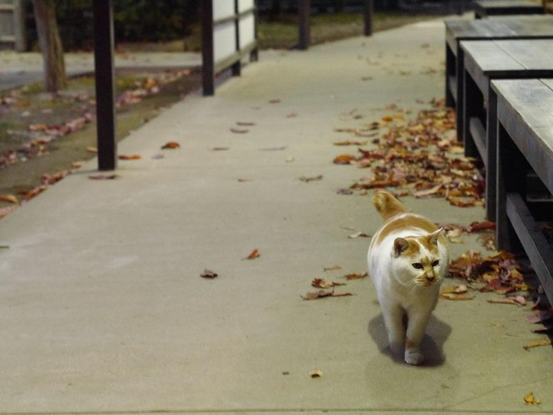 戻ってきた茶白猫1
