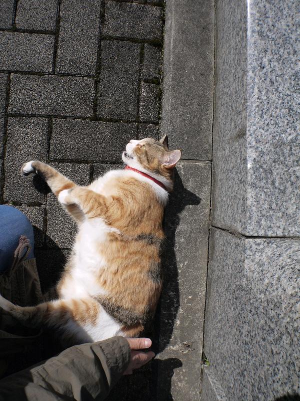 腰トントンで悶絶する三毛猫3