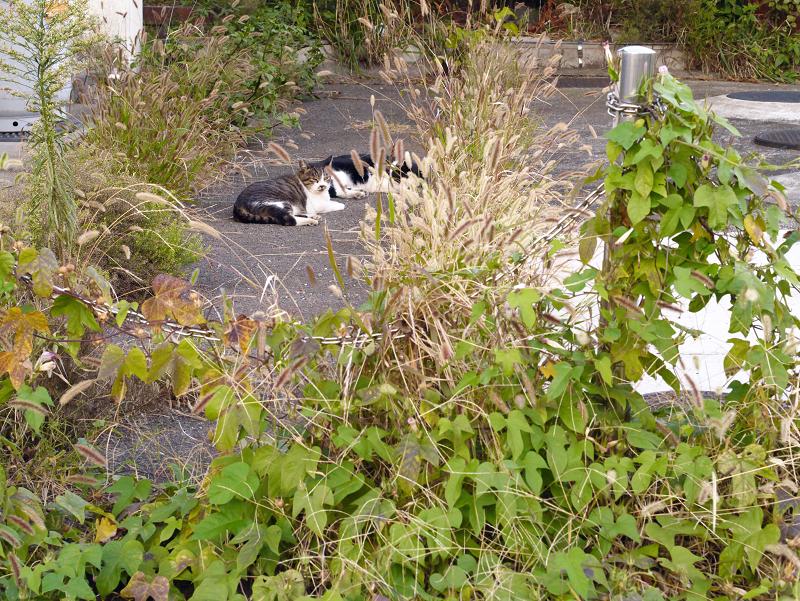 エノコログサと猫1