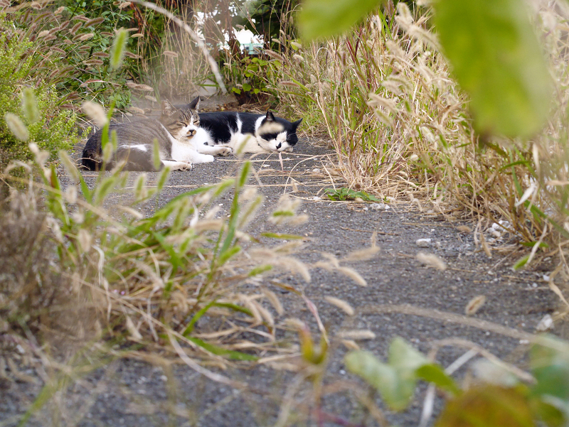 エノコログサと猫2