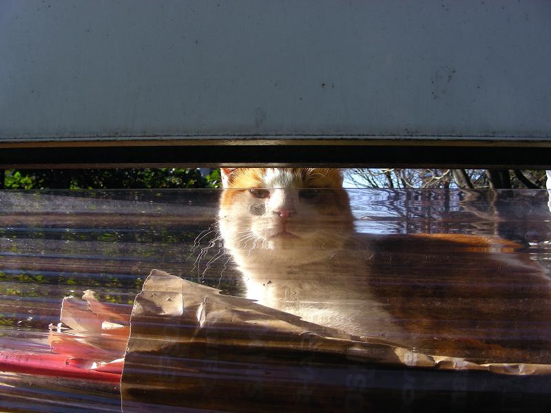 隙間から見ている茶白猫1