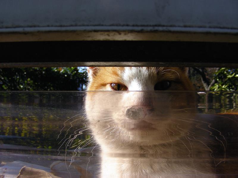 隙間から見ている茶白猫2