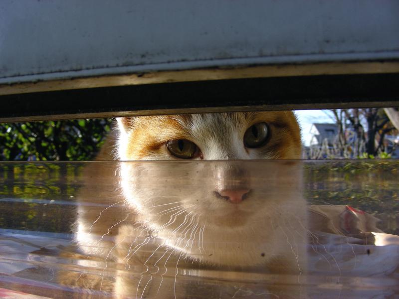 隙間から見ている茶白猫3