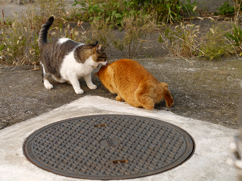 茶トラ猫を威嚇するキジ白猫2