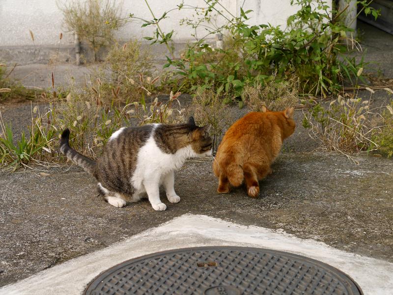 茶トラ猫を威嚇するキジ白猫3