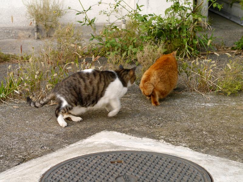 茶トラ猫を威嚇するキジ白猫4