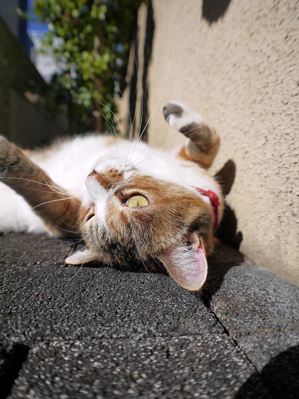 頭をくっ付けた三毛猫ローアングル2