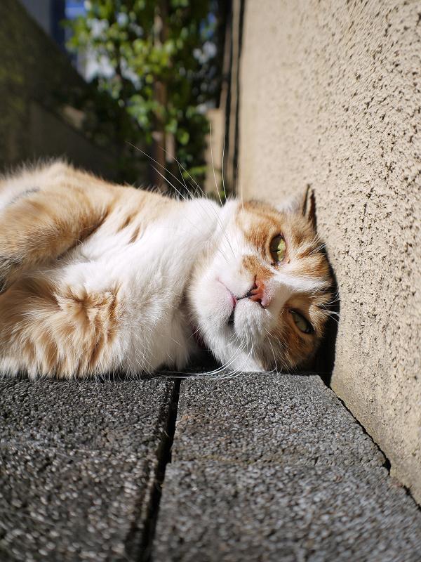 頭をくっ付けた三毛猫ローアングル1